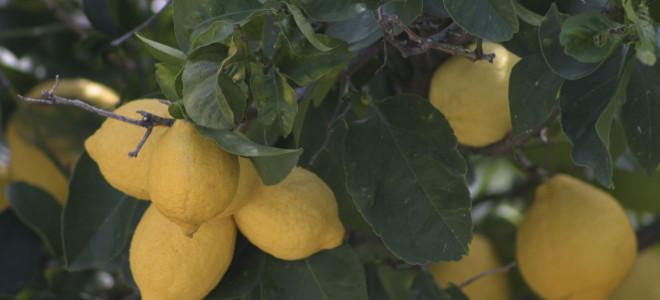 Ανήλικος ξάφριζε τις λεμονιές στην Κόρινθο -Είχε κλέψει πάνω από 10 τόνους