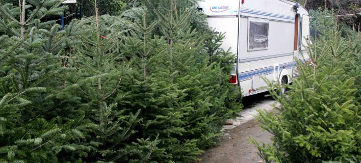 Χριστουγεννιάτικα δέντρα, ΖΩΝΤΑΝΟΣ ΑΛΕΞΑΝΔΡΟΣ / EUROKINISSI