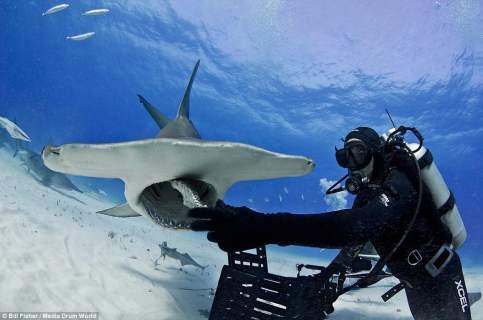 Ο γητευτής των καρχαριών: Ατρόμητος δύτης χαϊδεύει γιγάντιο σφυροκέφαλο [εικόνες]