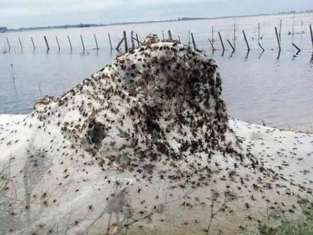 Αργεντινή αράχνες
