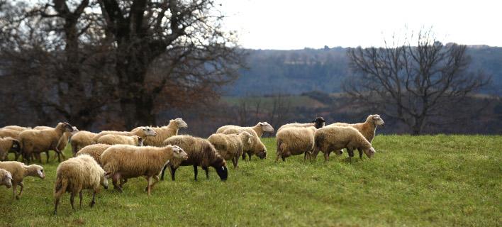 Συνολικά, μέχρι σήμερα έχουν σφαγιασθεί 24 κοπάδια με 3.600 πρόβατα, φωτογραφία: eurokinissi