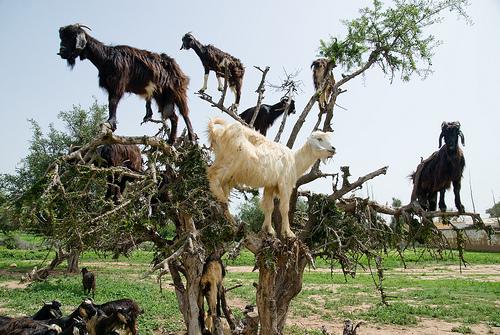 Αποτέλεσμα εικόνας για αστείες κατσίκες
