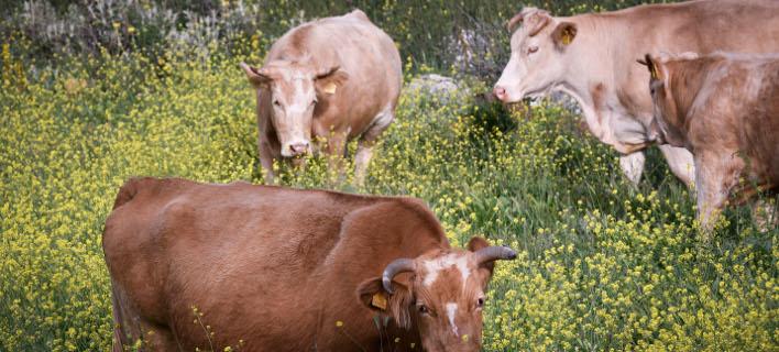 Αγελάδες σε ορεινή περιοχή/Φωτογραφία: Eurokinissi