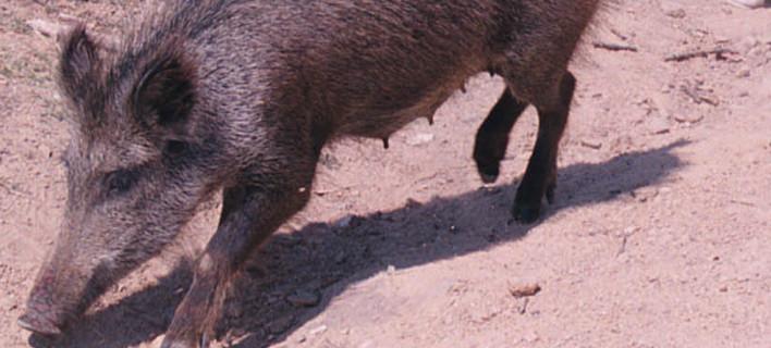 Απίστευτη περιπέτεια για κυνηγούς στη Φθιώτιδα -Τράκαραν με αγριογούρουνο και τους δάγκωσε