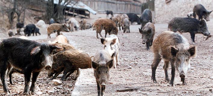 Θεσπρωτία: Ανησυχία στη Θεσπρωτία - Τα αγριογούρουνα έγιναν περισσότερα από τις κότες στα χωριά των Φιλιατών (+ΒΙΝΤΕΟ)