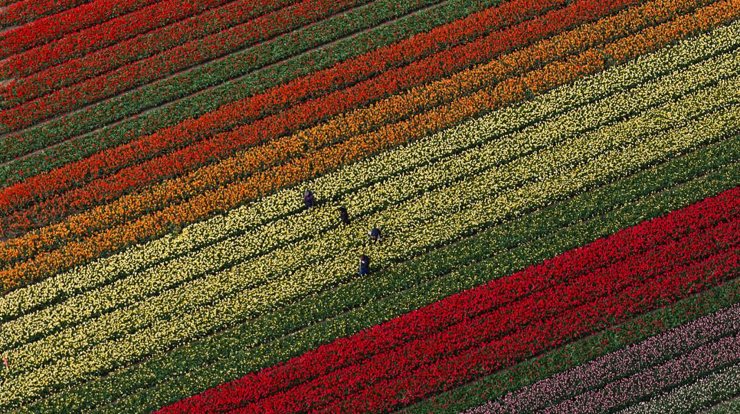 Σε μια περιοχή της Ολλανδίας μόνο, ανθίζουν φέτος την άνοιξη 7 εκατομμύρια τουλίπες - Φωτογραφία: AP Photo/Peter Dejong