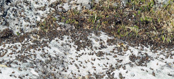 Φωτογραφίες: Ακρίδες «πνίγουν» τον Αγιο Ευστράτιο [εικόνες]
