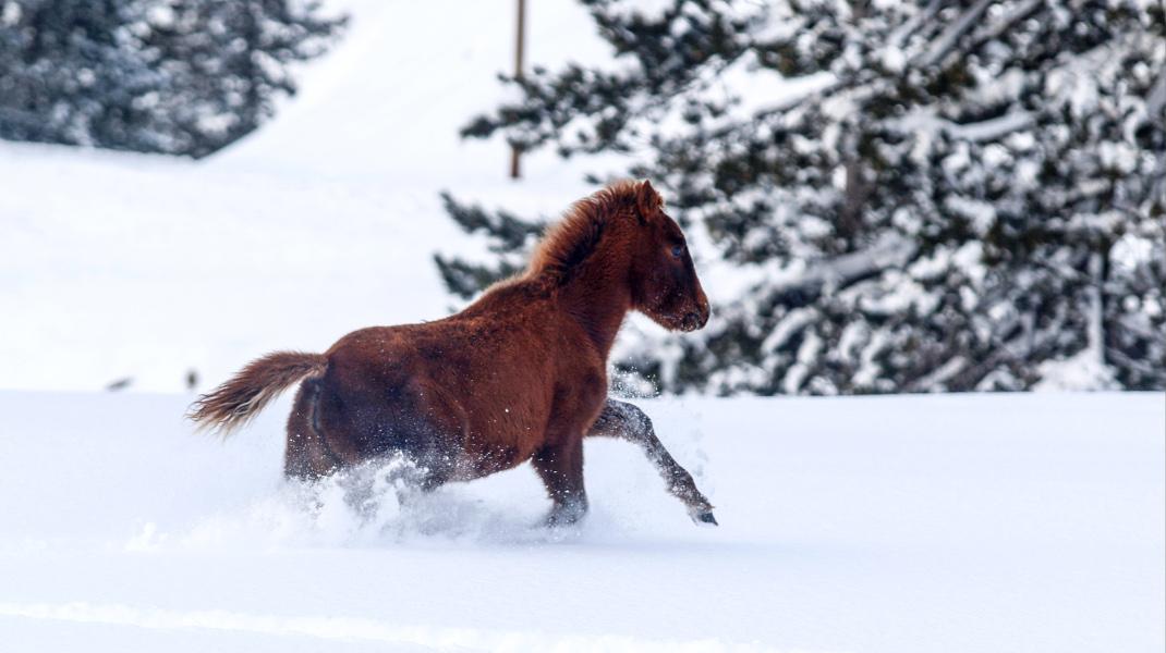 Αγρια άλογα στο χιόνι, κάπου στην Ελλάδα -Φωτογραφία: EUROKINISSI/ KOSTAS VILLA