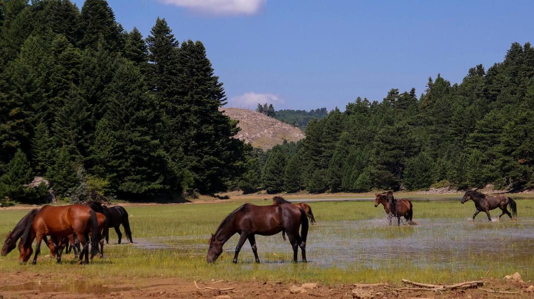 Αγρια άλογα στην ορεινή Κορινθία