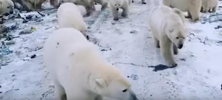 Πολικές αρκούδες σκορπούν τον τρόμο στη Ρωσία