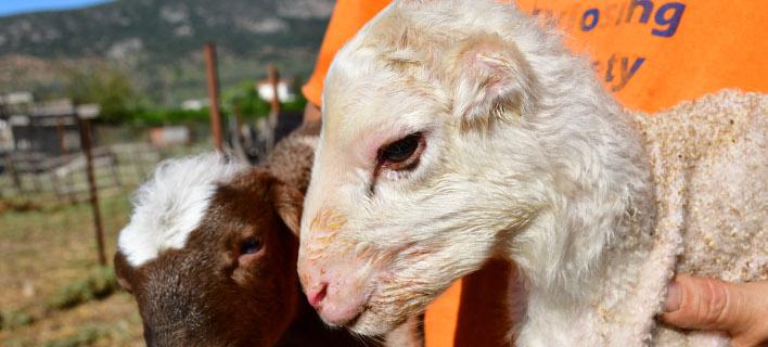 Ασυνήθιστο θέαμα για αγρότη στο Νάυπλιο: δύο αρνάκια γεννήθηκαν χωρίς αυτιά / Φωτογραφία: ΑΠΕ