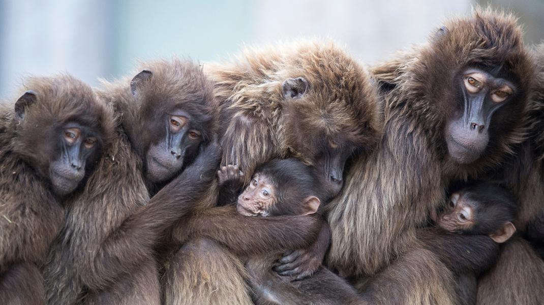 Μια υπέροχη απόδειξη για το γονικό φίλτρο των μπαμπουίνων -Προφυλάσσουν τα μικρά από το κρύο -Φωτογραφία: Sebastian Gollnow/dpa via AP