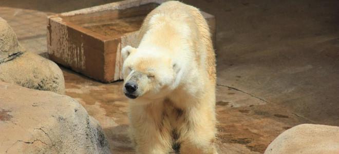Πέθανε η τελευταία πολική αρκούδα της Αφρικής -Επασχε από κατάθλιψη και καρδιακή