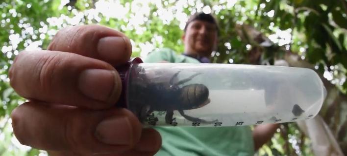 Η μεγαλύτερη μέλισσα του κόσμου (Φωτογραφία: ΥοuTube)