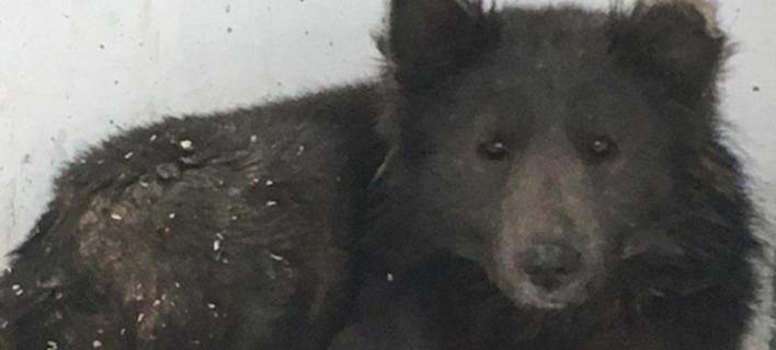 Μυστήριο με τον αδέσποτο σκύλο με τη μουσούδα αρκούδας [εικόνες]