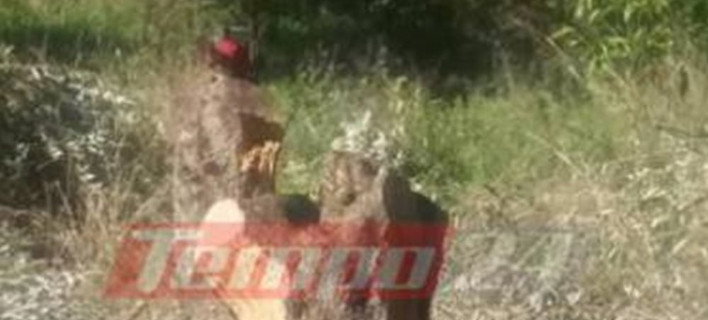 Απίστευτο περιστατικό στην Αχαΐα: Πήγαν να μαζέψουν τις ελιές και... είχαν κόψει τα δέντρα [εικόνες]