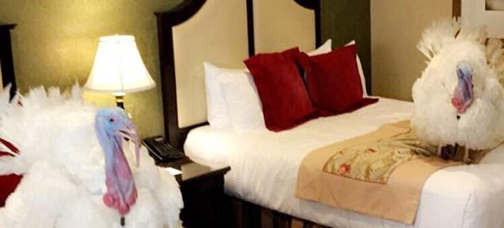 Τρέλα -Οι γαλοπούλες που θα σώσει αύριο ο Τραμπ κυλιούνται στα κρεβάτια πολυτελούς ξενοδοχείου [εικόνες]