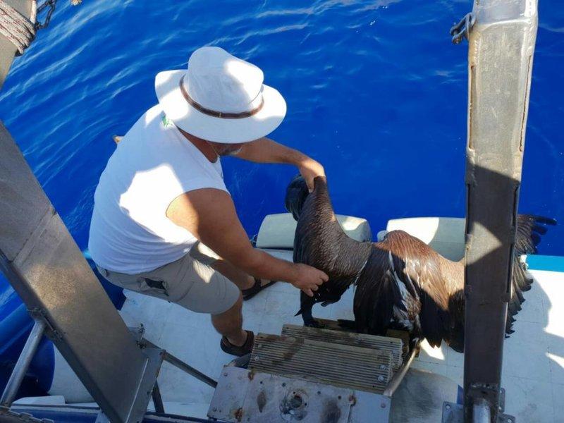 Το γύπα περισυνέλεξε από την θάλασσα ο καπετάνιος ενός πλοίου.