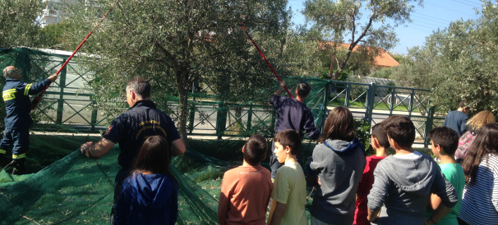Ο δήμος Γλυφάδας μαζεύει τις ελιές από τους κοινόχρηστους χώρους -Το λάδι θα δοθεί σε φτωχές και άπορες οικογένειες