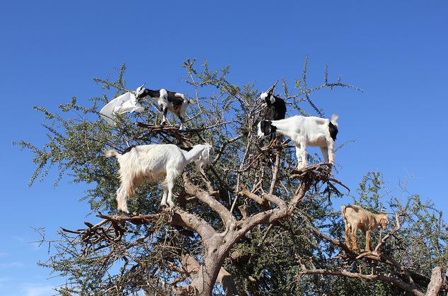 Αποτέλεσμα εικόνας για κατσίκες