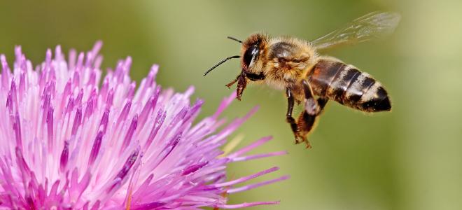 Μέλισσες ναρκαλιευτές εκπαιδεύουν Κροάτες επιστήμονες