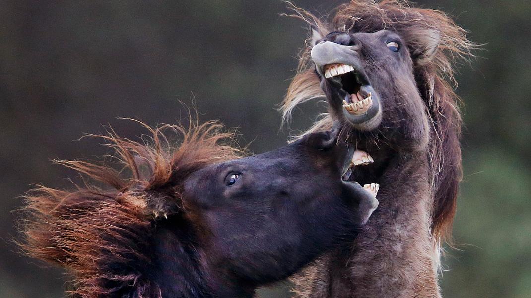 Οταν δύο ιρλανδέζικα άλογα παίζουν μεταξύ τους -Φωτογραφία: AP Photo/Michael Probst