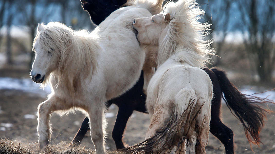 Καθαρόαιμα ισλανδικά άλογα  παίζουν ανέμελα, στη Φρανκφούρτη -Φωτογραφία: AP Photo/Michael Probst