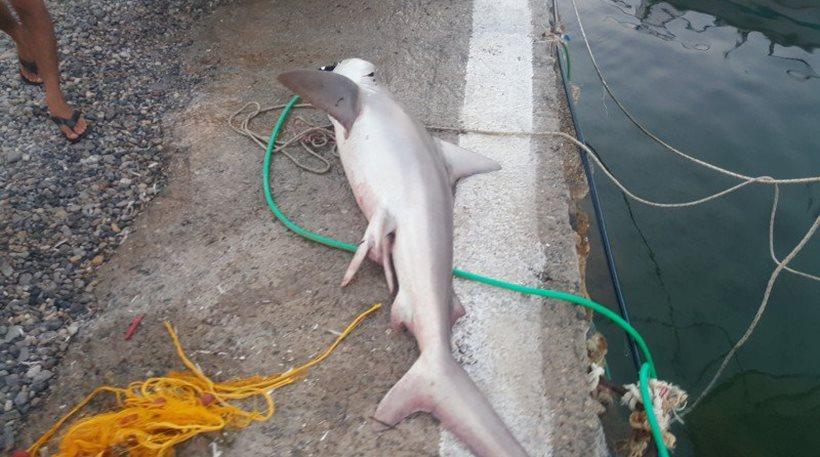 Απίστευτο:Έριξαν παραγάδι και έπιασαν τεράστιο καρχαρία!Σε ποιο ελληνικό νησί έγινε;(photos)
