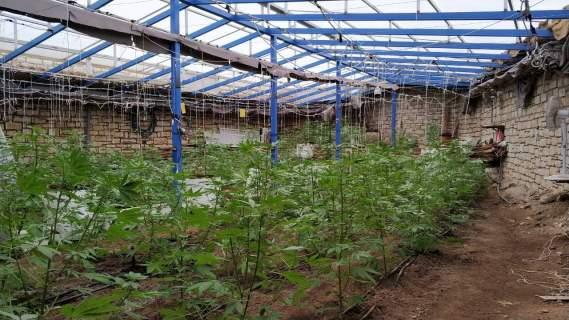 Φυτεία κάνναβης/ Φωτογραφία αρχείου eurokinissi