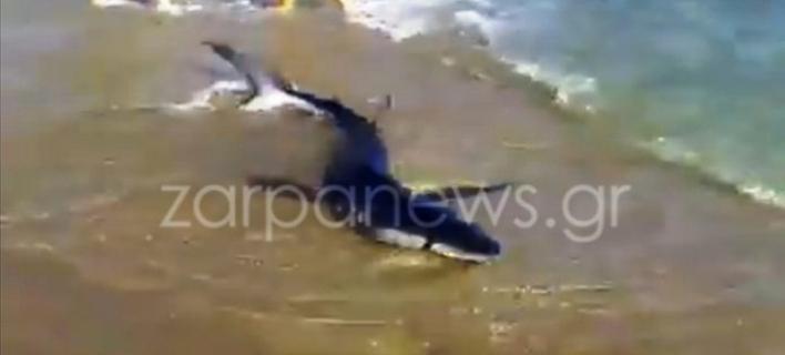 Καρχαρίας σε παραλία των Χανίων (Φωτογραφία: zarpanews)