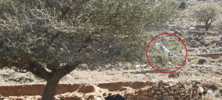 Viral βίντεο: Κατσίκα ακροβάτης στην Κρήτη, βολτάρει με άνεση πάνω σε μια αχλαδιά