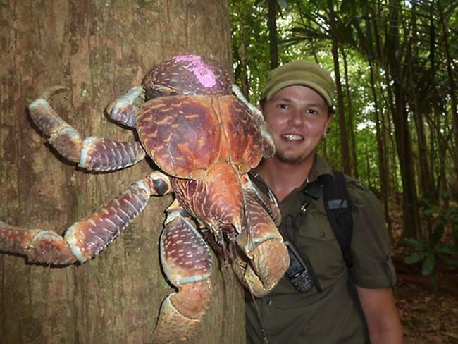 Το μεγαλύτερο καβούρι της ξηράς: Φθάνει το 1 μέτρο μήκος και ζυγίζει 5 κιλά