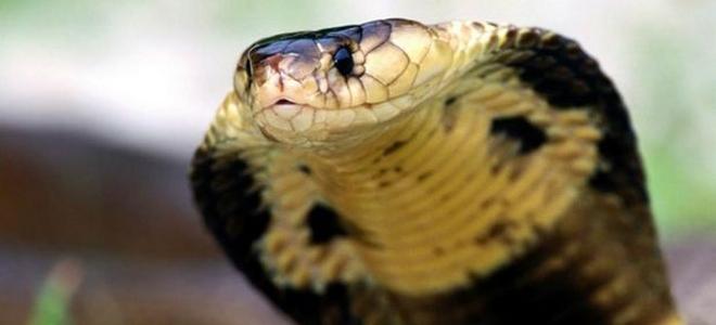 Ινδία, φίδια, κόμπρες, εφορία, γραφειοκρατία, υπάλληλοι, μίζα