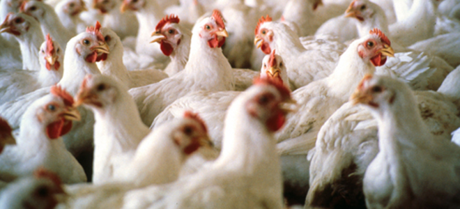 Ο καύσωνας έκανε 5.000 κοτόπουλα... ψητά
