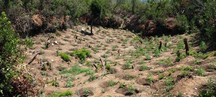 Λακωνία: Εντοπίστηκαν τρεις φυτείες με πάνω από 1.200 δενδρύλλια ινδικής κάνναβης [εικόνες]