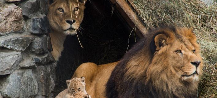 Λιοντάρι/Φωτογραφία: AP