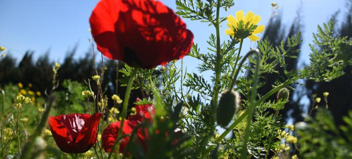 Λουλούδια στην Αργολίδα (Φωτογραφία: Eurokinissi-ΠΑΠΑΔΟΠΟΥΛΟΣ ΒΑΣΙΛΗΣ)