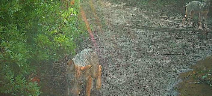 Λύκοι εμφανίστηκαν ξανά έξω από τη Ρώμη (Φωτογραφία: LIPU)