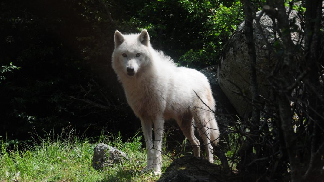 Ενας λευκός λύκος, από την αγέλη των έξι άγριων ζώων από την Ιταλία που φιλοξενεί ο Αρκτούρος -Φωτογραφία: ΜΚΟ ΑΡΚΤΟΥΡΟΣ