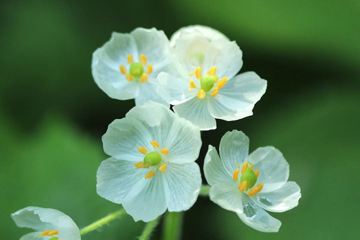 Μαγική μεταμόρφωση - Το λουλούδι που με λίγες σταγόνες βροχής γίνεται... διάφανο