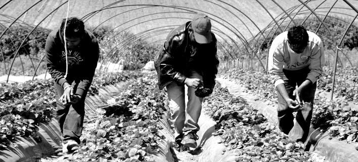Αδήλωτοι στην Επιθεώρηση Εργασίας 355 αλλοδαποί στα φραουλοχώραφα Μανωλάδας -Φωτογραφία αρχείου: EUROKINISSI/ΑΝΤΩΝΗΣ ΝΙΚΟΛΟΠΟΥΛΟΣ
