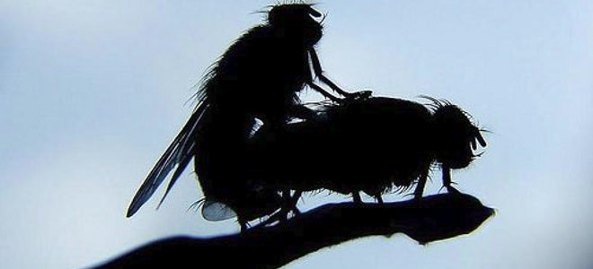 Οι μύγες κινδυνεύουν... όταν κάνουν σεξ