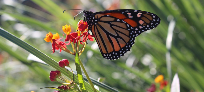 Τα απολιθώματα πεταλούδων είναι σπάνια, Φωτογραφία: pixabay