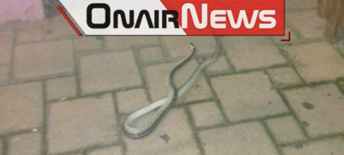 Φίδι στο Μεσολόγγι/ Φωτογραφία:  onairnews.gr