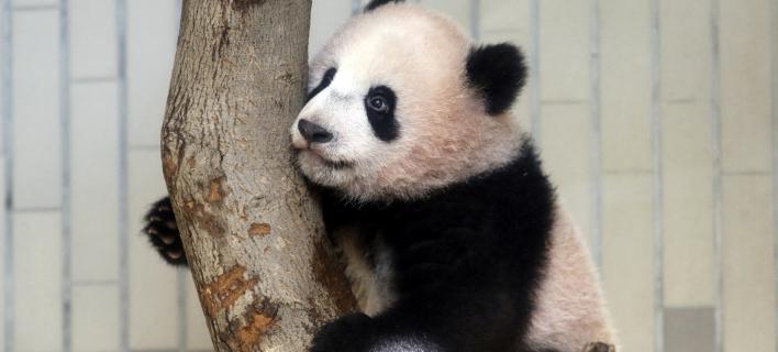 Υπερωρίες θα κάνει πλέον η Xiang Xiang (Φωτογραφία: AP/ Yoshikazu Tsuno)