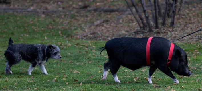 Σκύλος ακολουθεί έναν χοίρο που έχει βγάλει βόλτα μια γυναίκα στη Μαδρίτη-Φωτογραφία: AP/Paul White