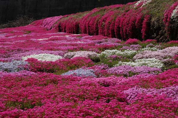 Το ανθισμένο ροζ πάρκο χιτσουτζιγιάμα