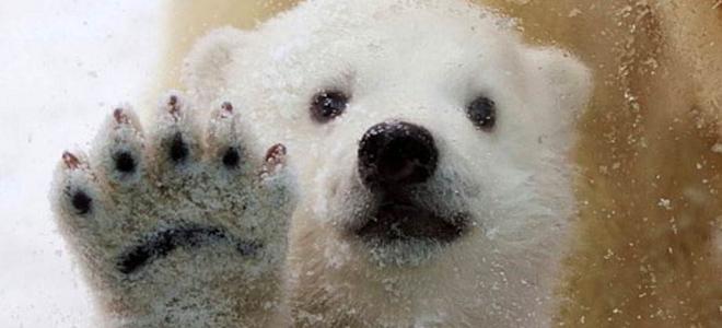 πολική αρκούδα, έρευνα,πλανήτης,περιβάλλον, Κέντρο Βιοποικιλότητας και Κλιματικώ