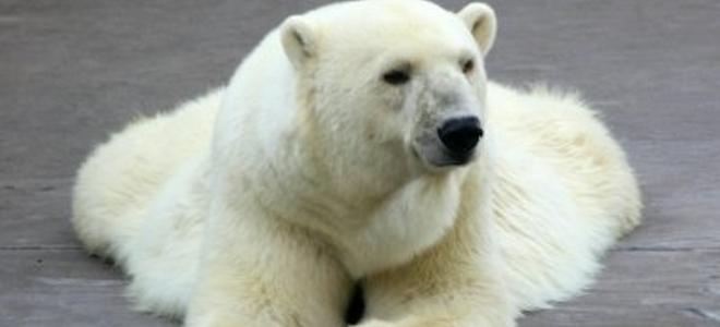 Πολικη αρκούδα βρήκε το θάνατο από ιό ζέρβας που μάλλον της το μετέφερε ποντίκι