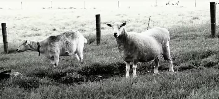 Τα πρόβατα μπορούν να αναγνωρίσουν ανθρώπινα πρόσωπα μέσα από φωτογραφίες! [βίντεο]